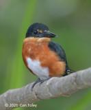 Kingfisher, American Pygmy
