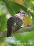 Cuckoo, Banded Bay