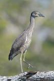 Heron, Yellow-crowned Night-