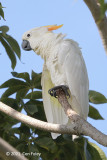 Cockatoo, Yellow Crested