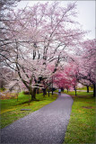 Branch brook park cherry blossom 2019