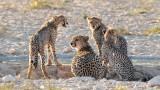 Cheetah family at leeuwdril.