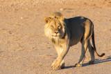 Lion at Urikaruus camp early morning