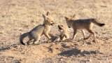Pups Cape fox