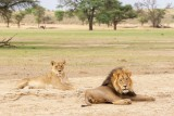 Lion couple at Kwang
