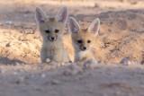 Cape fox pups