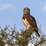 Black breasted snake eagle