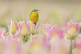 Gele kwik in de tulpen