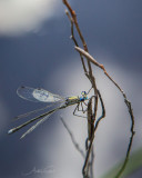 DRAGONFLIES IN FINLAND