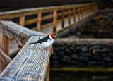 Yellow-biilled Cardinal