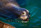Sea Lion Swim