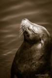 Sea Lion Zen