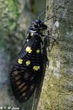 Cicadas (蟬)