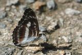 Athyma selenophora DSC_1384