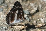 Athyma selenophora DSC_1386