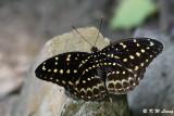 Lexias pardalis (小豹律蛺蝶)