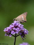 Hasora chromus (Banded Awl 雙斑趾弄蝶)