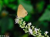 Deudorix epijarbus (Cornelian 玳灰蝶)