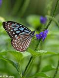Tirumala limniace (青斑蝶)
