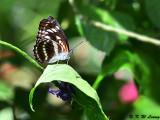 Athyma selenophora laela (小單帶蛺蝶)