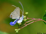 Catochrysops strabo strabo DSC_4522