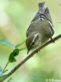 Yellow-browed Warbler (黃眉柳鶯)