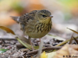 Lanceolated Warbler (矛斑蝗鶯)