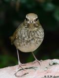 Rufous-tailed Robin (紅尾歌鴝)