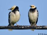 Black-collared starling (黑領掠鳥)