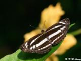 Neptis clinia (珂環蛺蝶)