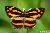 Symbrenthia lilaea (散紋盛蛺蝶)