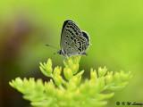 Tongeia filicaudis (點玄灰蝶)