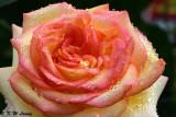 Rose DSC_1210