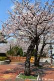 Cherry Blossom DSC_1924