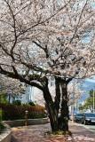 Cherry Blossom DSC_2052