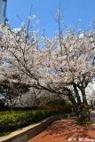 Cherry Blossom DSC_1921