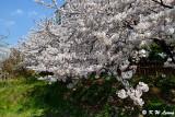 Cherry Blossom DSC_1967