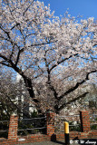 Cherry blossoms DSC_2521