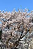Cherry blossoms DSC_2530