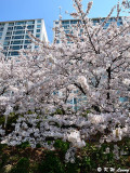 Cherry Blossom DSC_1957