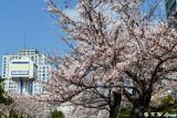 Cherry blossoms DSC_1929
