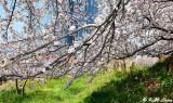 Cherry blossoms DSC_1954
