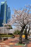 Cherry Blossom DSC_1926