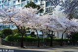 Namcheon-dong Cherry Blossom Road DSC_2117