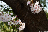 Cherry Blossom DSC_1972
