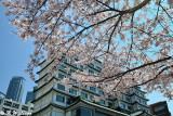 Cherry Blossom DSC_1975
