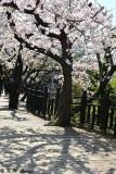 Cherry Blossom DSC_1993