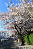 Namcheon-dong Cherry Blossom Road DSC_2107