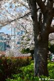 Cherry Blossom DSC_2049