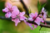Cherry Blossom DSC_2124